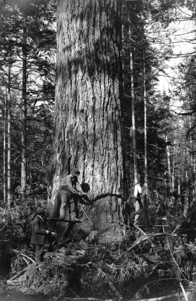 Old tree cutting down