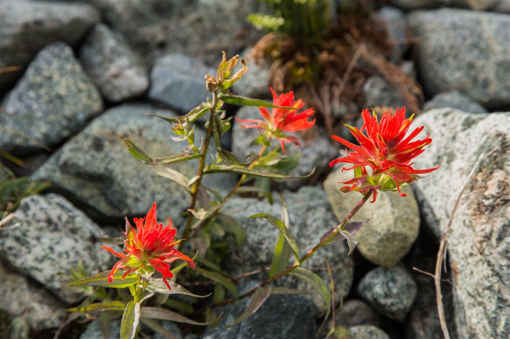 Late season Indian Paintbrush