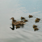 Ducklings at Buntzen Lake
