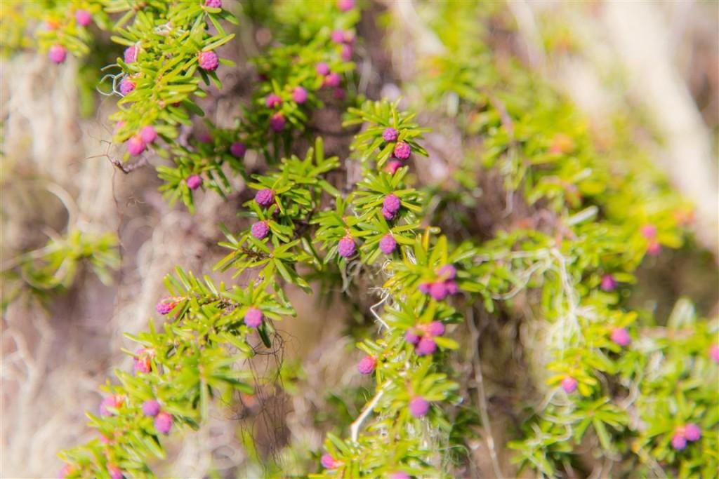 Flowering pine