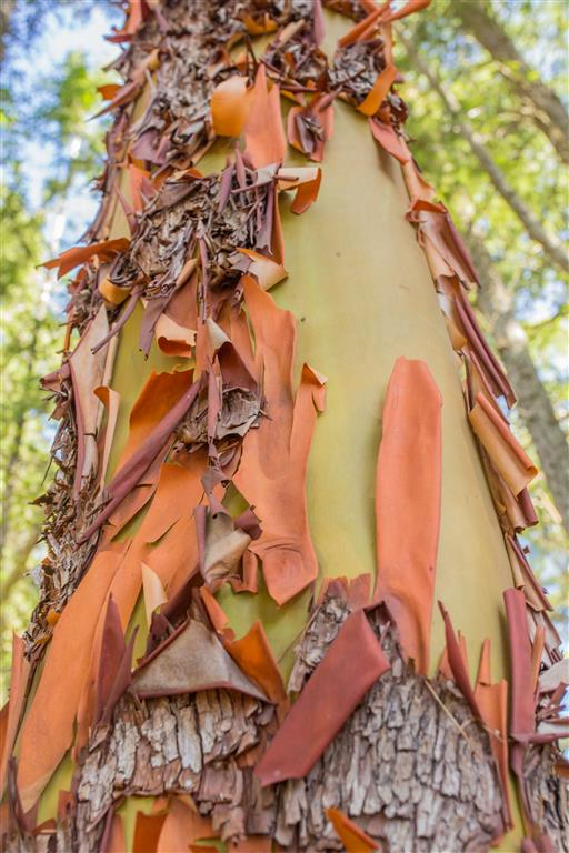 Arbutus Tree Bark