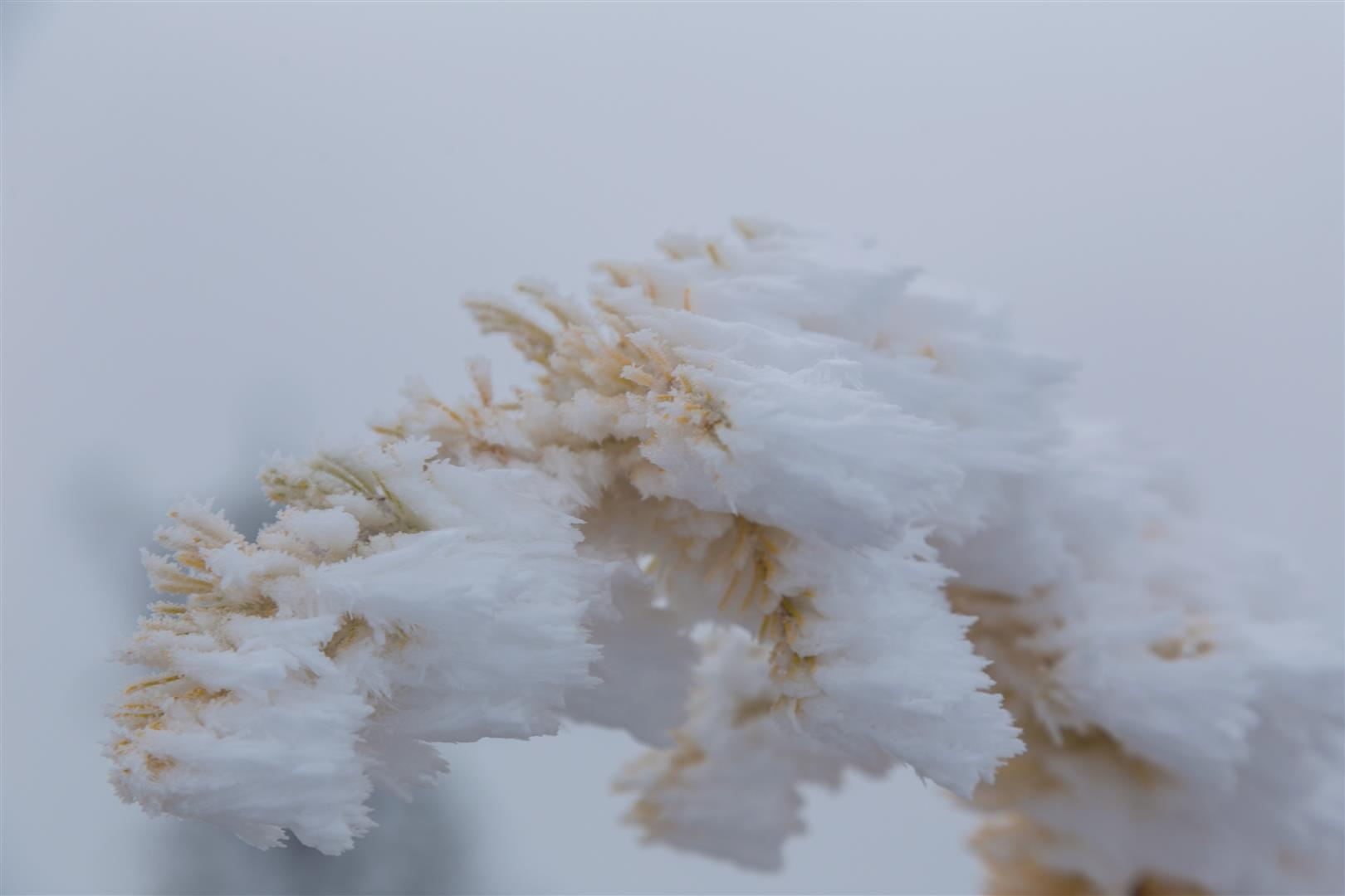 Frozen Alpine larch
