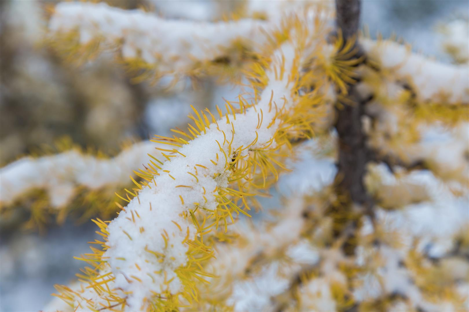 Snow on a golden alpine larch