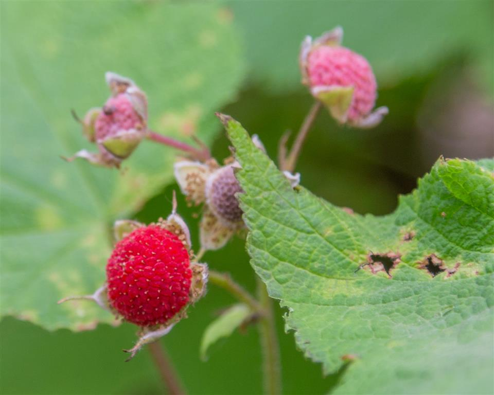 Thimbleberries were plentiful