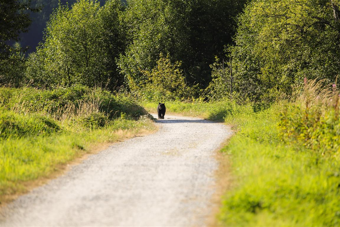 Bear on path