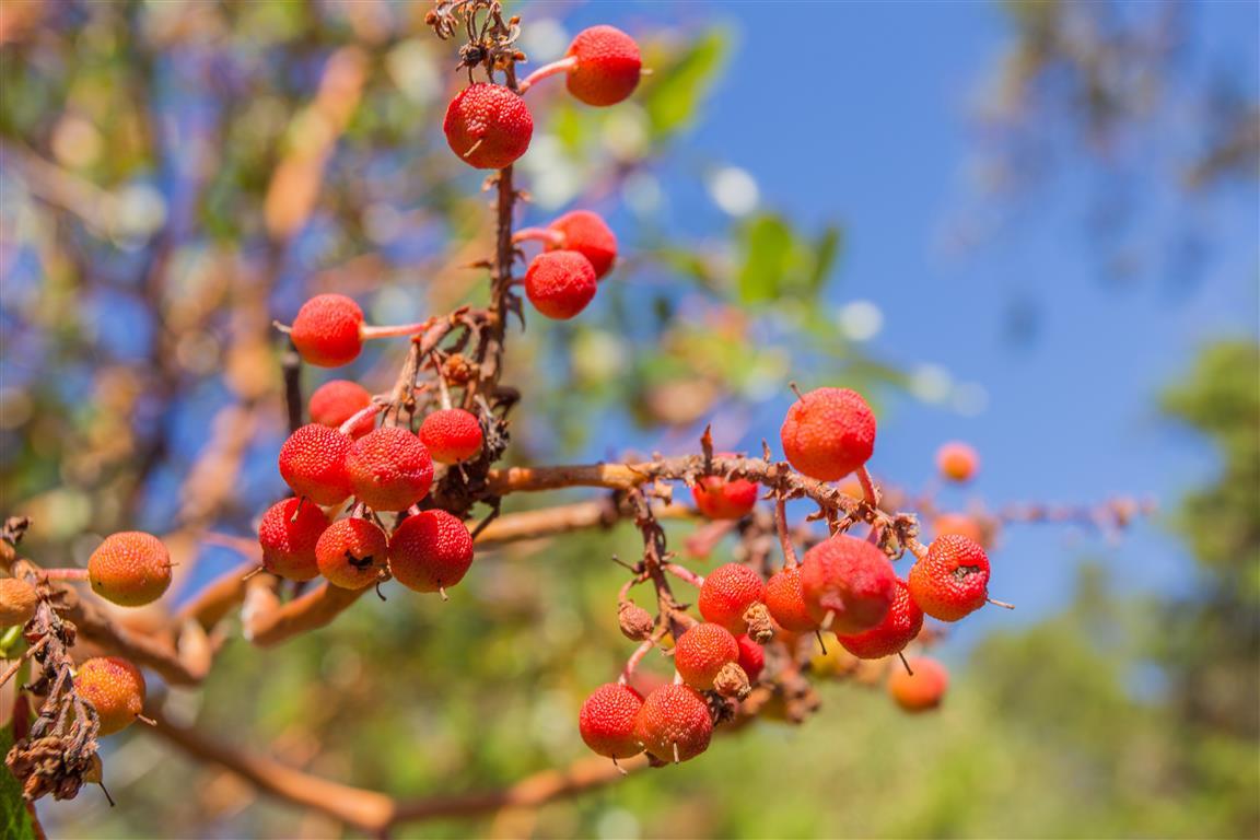 Arbutus Tree Berries